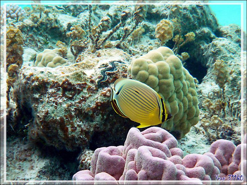 Poisson-papillon côtelé du Pacifique ou délavé, Pacific lineated butterflyfish or Redfin butterflyfish (Chaetodon lunulatus) - Lagon de la Pension Kuriri - Maupiti - Polynésie française