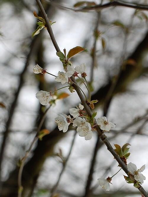 Fleurs de cerisier sauvages.