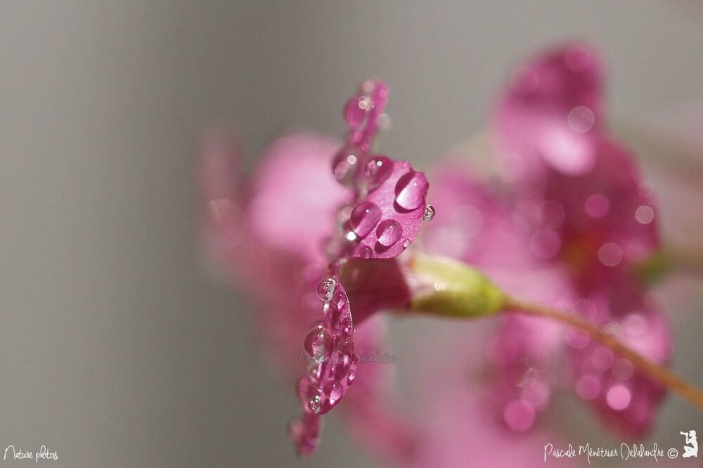 Mercredi 19 mai 2016 - Perles de pluie sur Oxalis