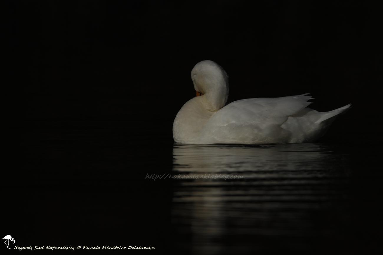 Canard de Pékin ♀