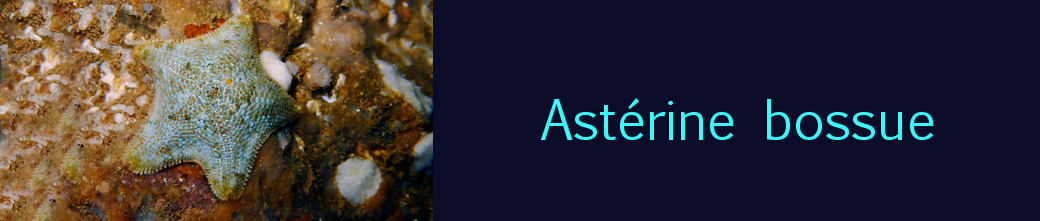 astérine bossue