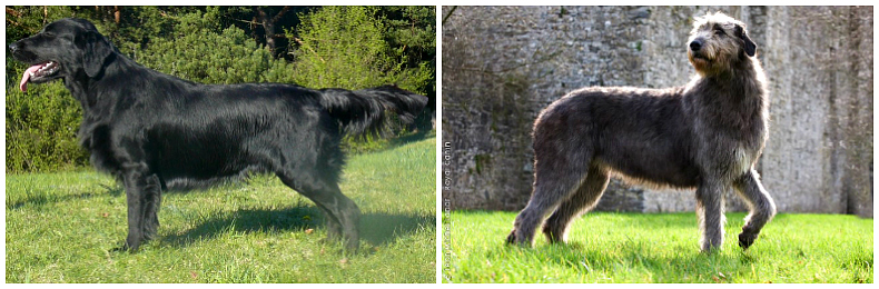 flat coat retriever - irish wolfhound