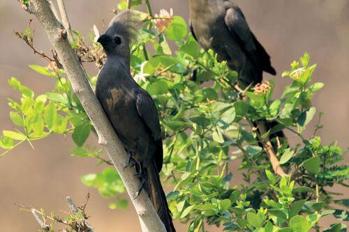 Touraco concolore (Grey Go-away-bird)
