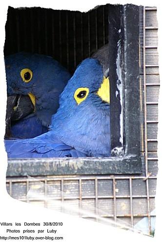 01 perroquet bleu 1