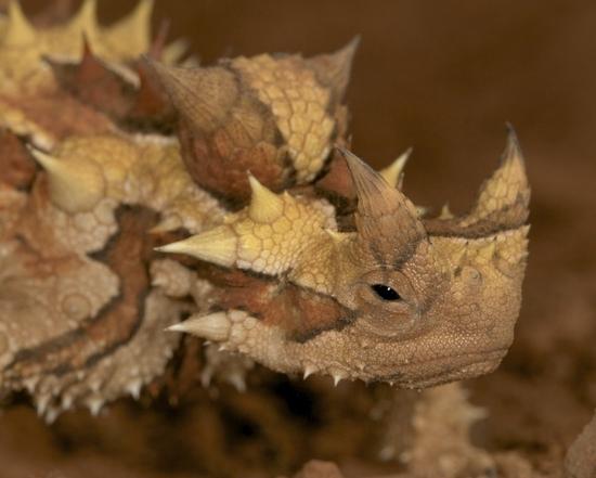 moloch horridus - le moloch hérissé (9)