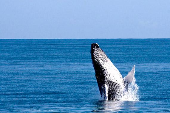 Baleine dans la baie de samana en RD