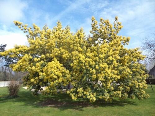 Les mimosas sont en fleurs