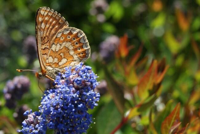 papillon Le Damier de la Succise ou l'Artémis - Euphydryas aurinia