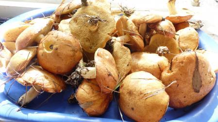 recette de cèpes de pin un régal