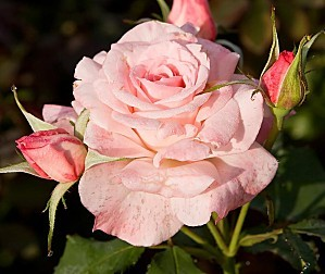 rose-copie-1.jpg