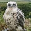 Falco Rusticolus