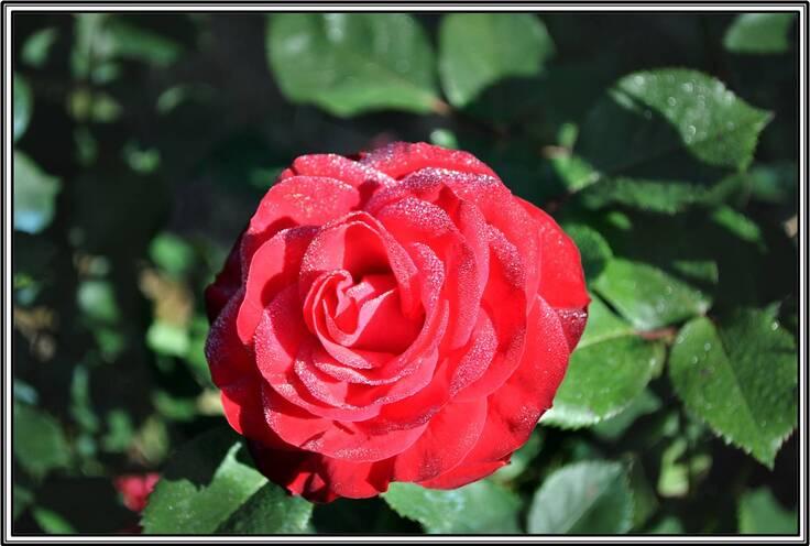 Rose et rosée.
