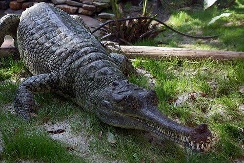 le crocodile Gavial du Gange.
