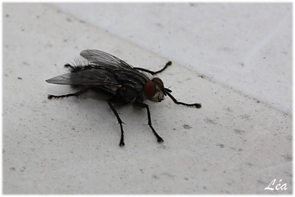 Insectes-2-0036-mouche-damier.jpg