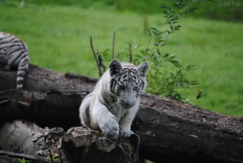 (20) Les petites tigresses blanches.