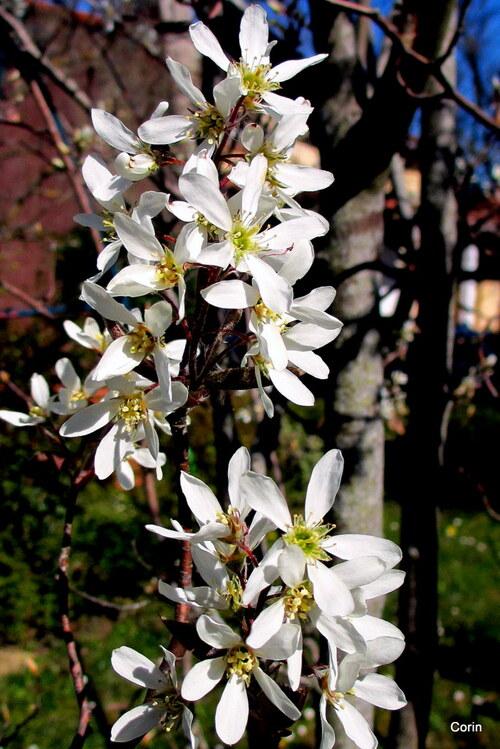 Un petit arbuste avec des fleurs blanches : l'amélanchier
