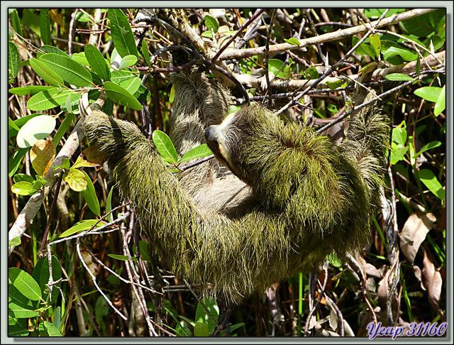 Blog de images-du-pays-des-ours : Images du Pays des Ours (et d'ailleurs ...), Direction Salt Creek: on rencontre beaucoup de paresseux à  trois doigts (Aï) - Bastimentos - Panama