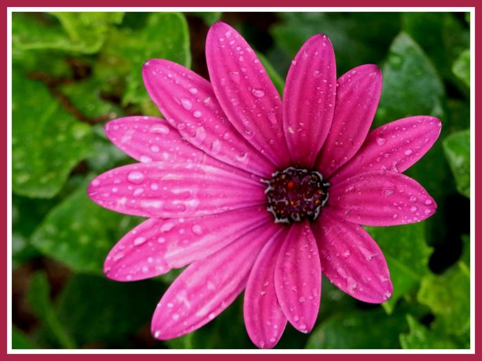 Fleurs d'été diverses.Volet 3.Jacinthe d'eau.