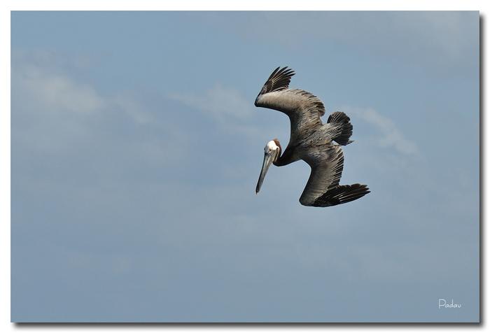 Le Pélican brun