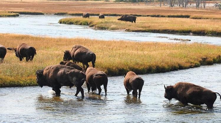 Images du monde : La faune du parc Yellowstone