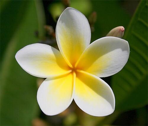 fleur de la réunion