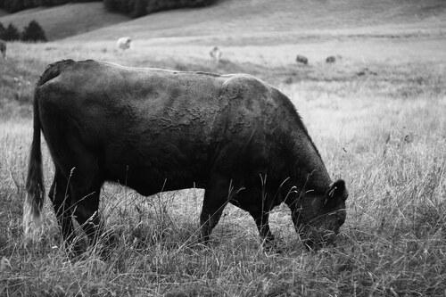 02 - Autres portraits de vaches