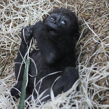 kuimba, bébé gorille.