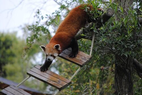 (39) Ying, le panda roux