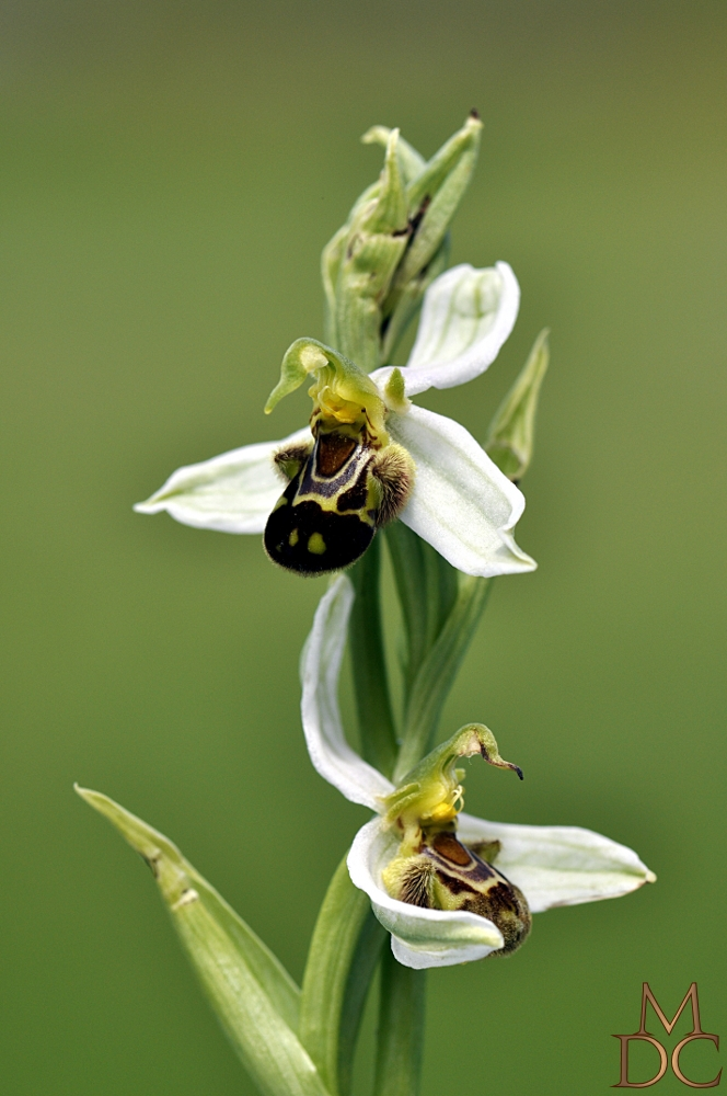 "OPHRYS "" ABEILLE "" BLANCHE"