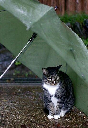 26 - Les chats, le  parapluie, la pluie ou le parasol...