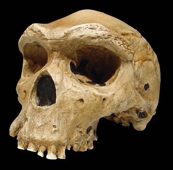 Kabwe_skull_or_Broken_Hill_Skull__Replica__4