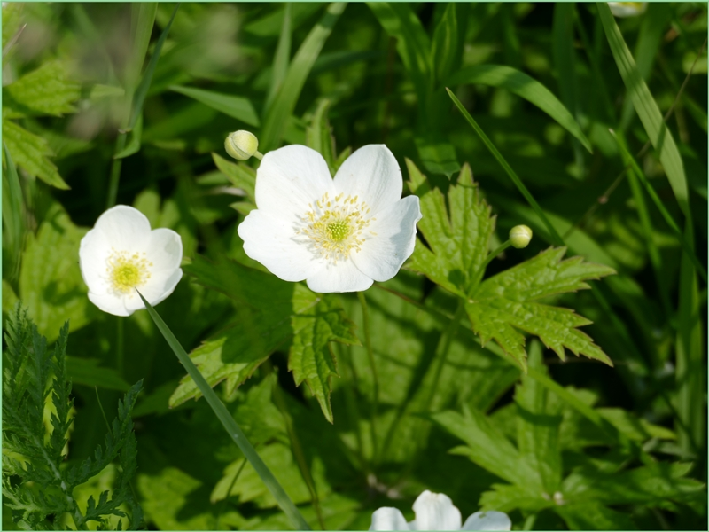 Fleurs du marais.(2)