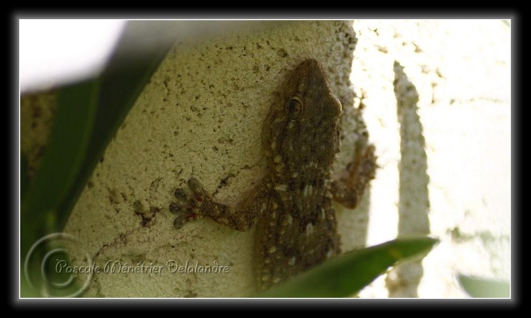 Geckos (Tarentola mauritanica) ...