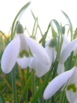 Dessiner les fleurs: les perces neige