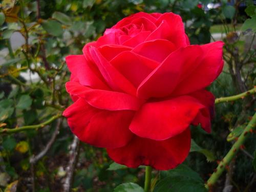 Fin d'été à Gembloux Nouvelles roses