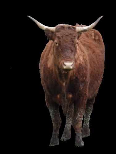 vache (Copier)