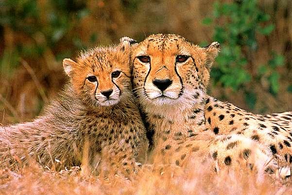 Résultats de recherche d'images pour «guépard»