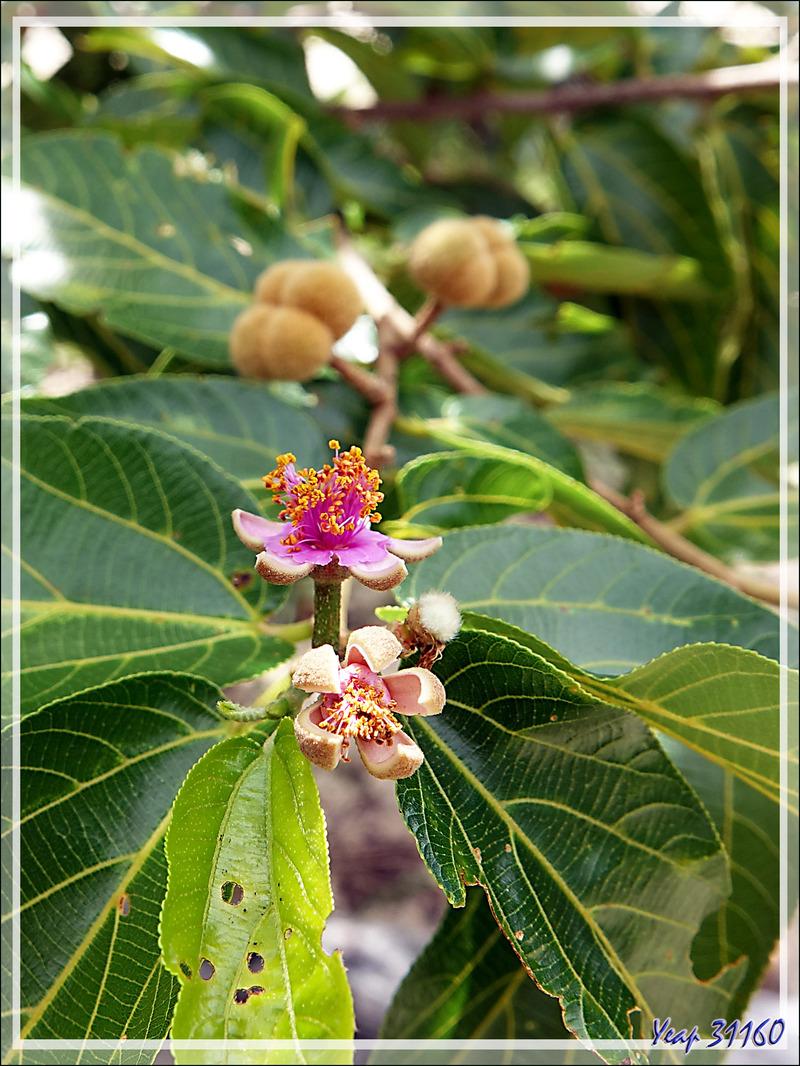 Petite fleur rose d'arbre (fruitier ?) indéterminé - Grande Mitsio - Madagascar