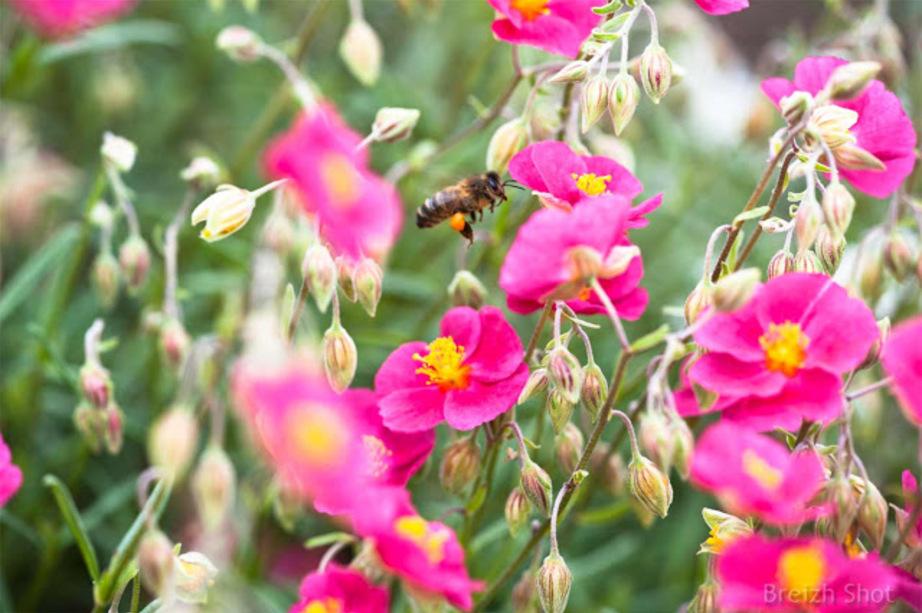 Le pollen, butin de l'abeill