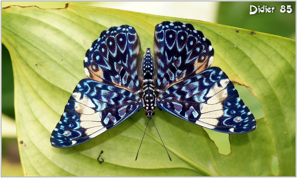 Craqueur Turquoise (1) - Hamadryas arinome