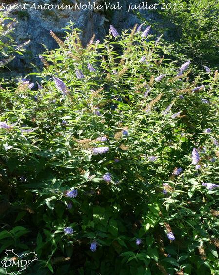 Buddleja davidii  - buddleia du père David -  arbre aux papillons