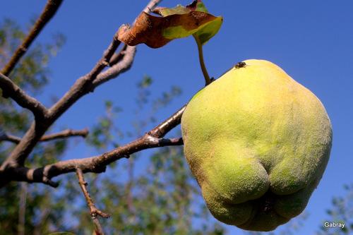 Coings, figues et poires du jardin ...