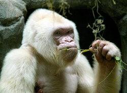 L'albinisme