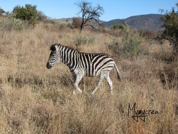 1 zebre