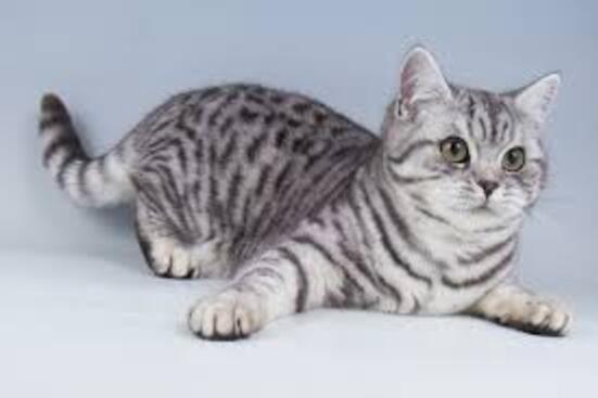 """Résultat de recherche d'images pour """"chat british shorthair"""""""