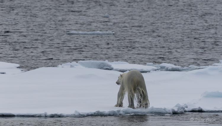 L'ours nageur... encore lui