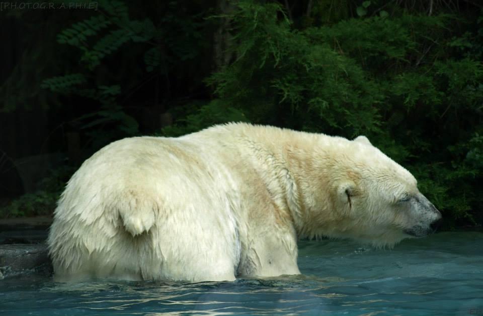 Souvent Animal de la semaine- L'Ours Polaire. - Dans les Entrailles du Monde KI35