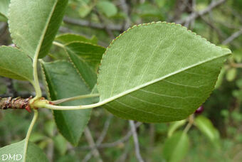 Prunus mahaleb  -  prunier de Sainte Lucie