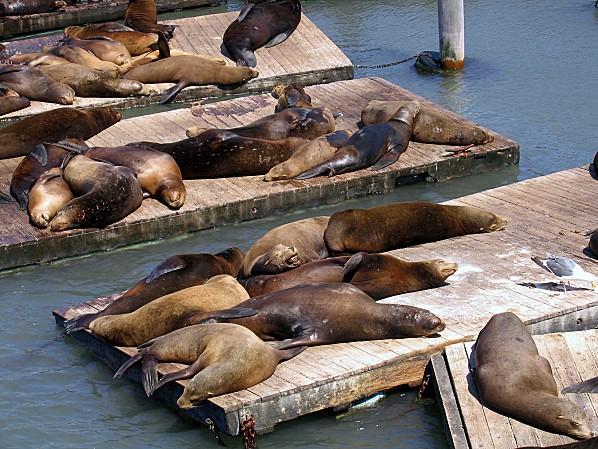 San Francisco Lions de mer
