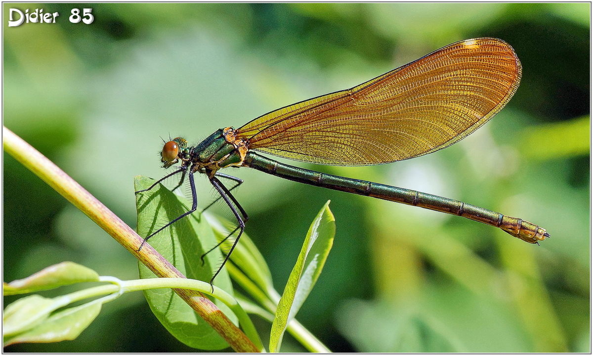 Caloptéryx Vierge (4) - Calopteryx virgo